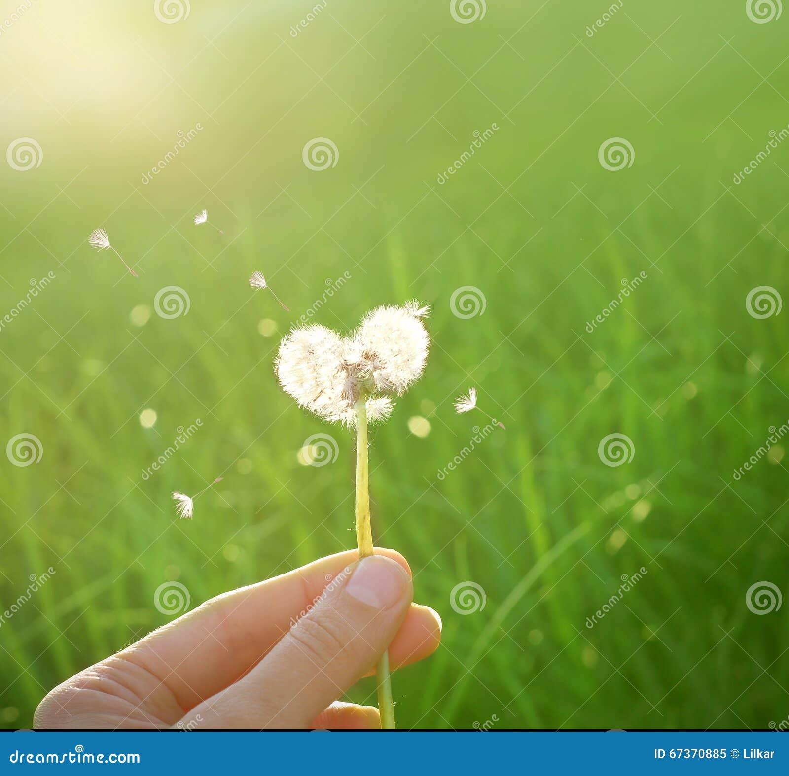 Dandelion w kształcie serce