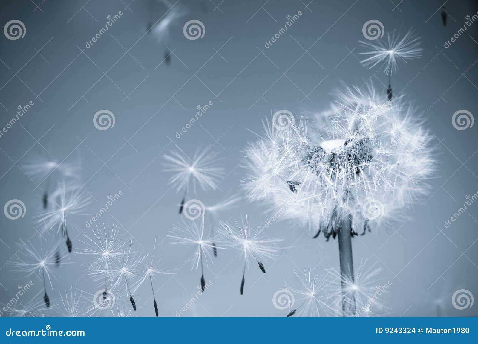 Dandelion wiatr