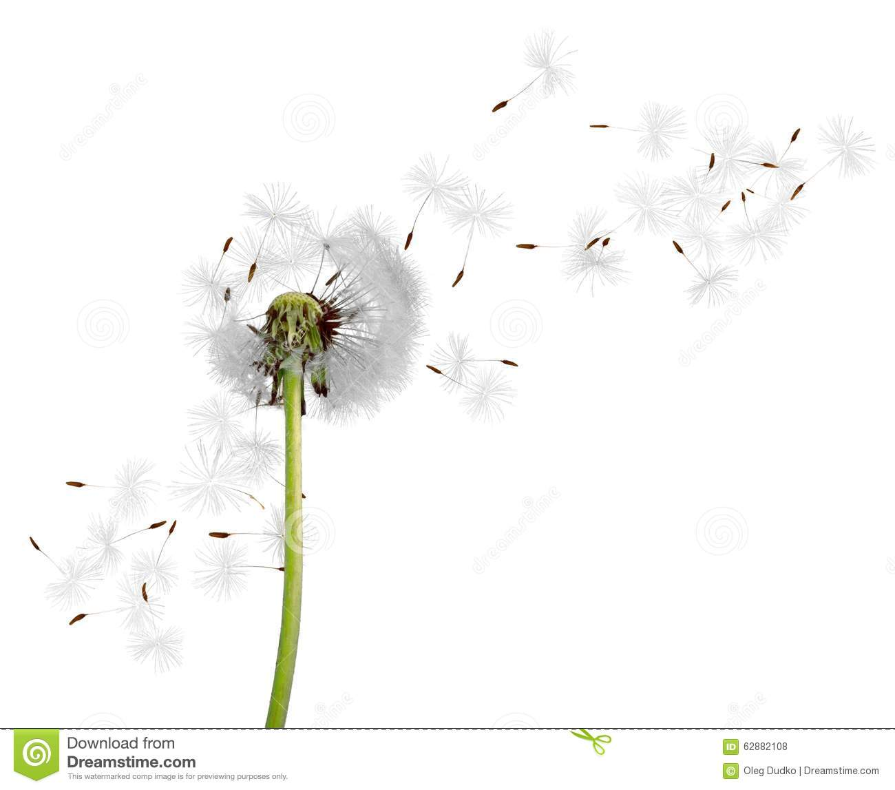 Dandelion stock photo. Image of seed, pollination, summer ...