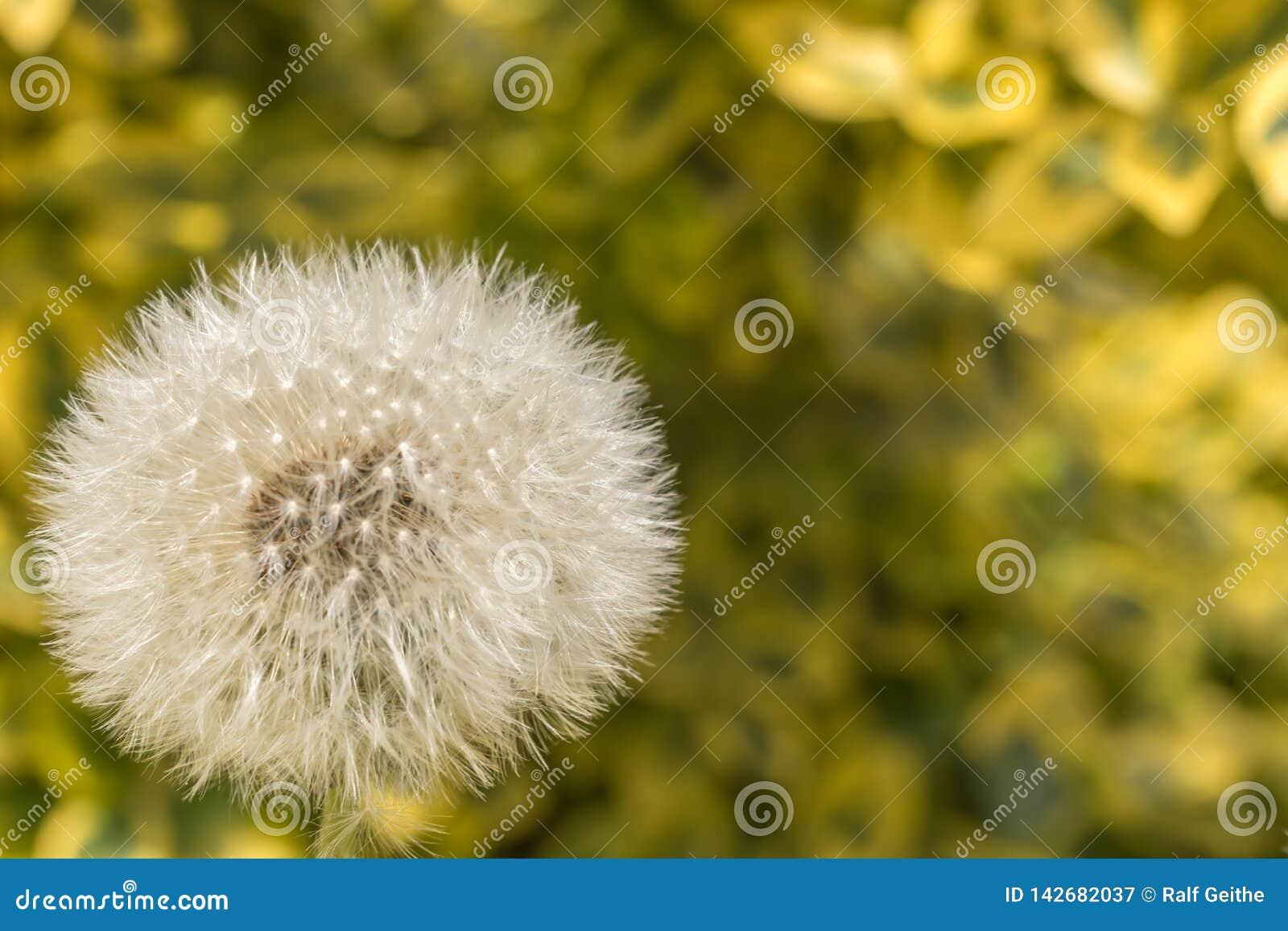 Dandelion dandelion z naturalnym tłem jako szablon z kopii przestrzenią