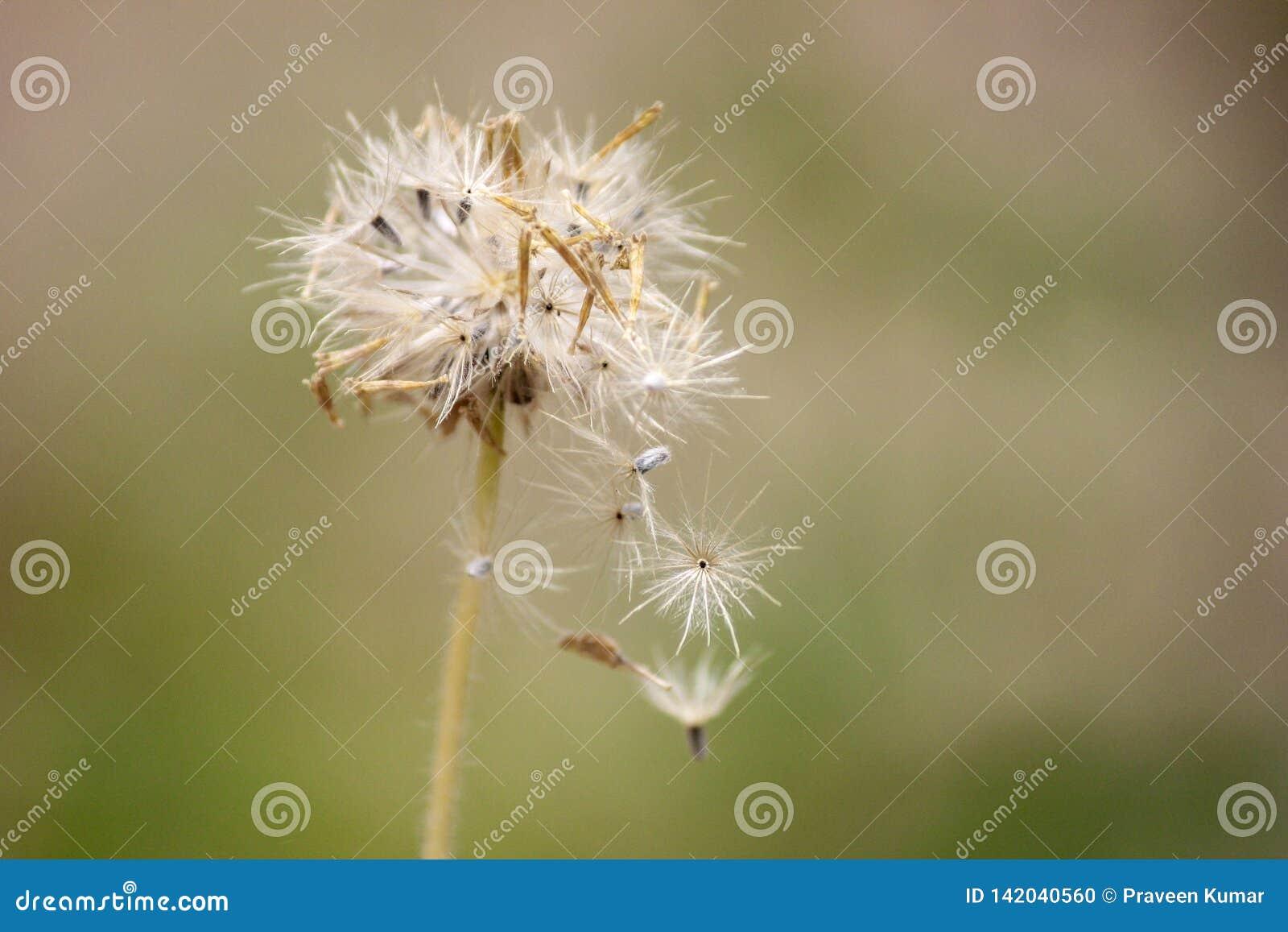 Dandelion z ziarnami dmucha zakończenie w górę dandelion rozbieganie ziarna