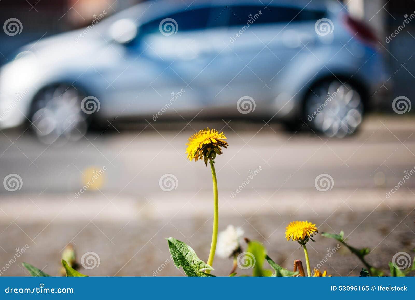 Dandelion zbliżenie z hybrydowym samochodem w tło ekologii envi
