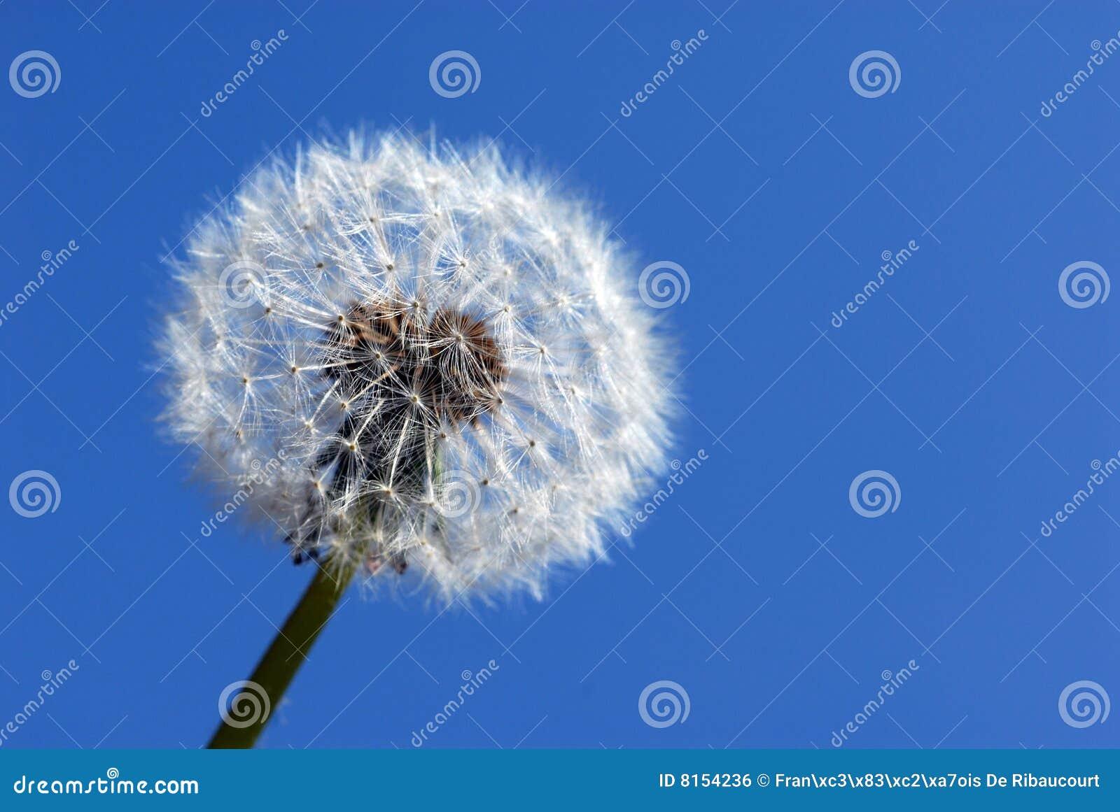 Dandelion zegarowy kwiat