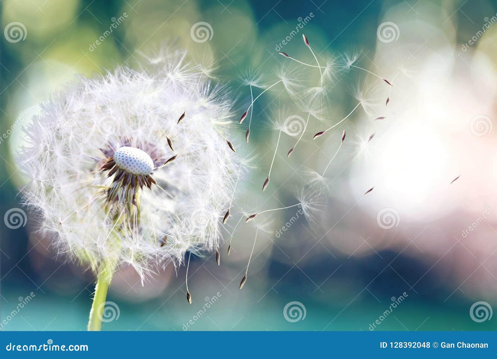 Dandelion ziarna w świetle słonecznym dmucha daleko od przez świeżego zielonego ranku tło