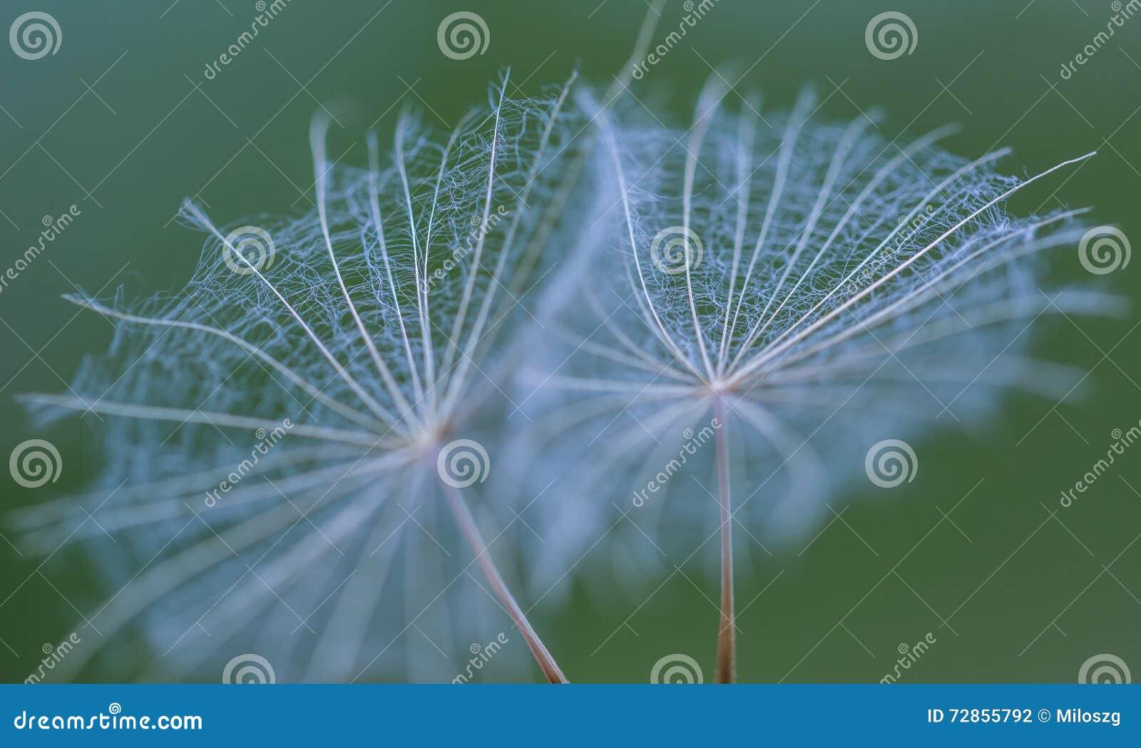 Dandelion ziarno w dużym zakończeniu up