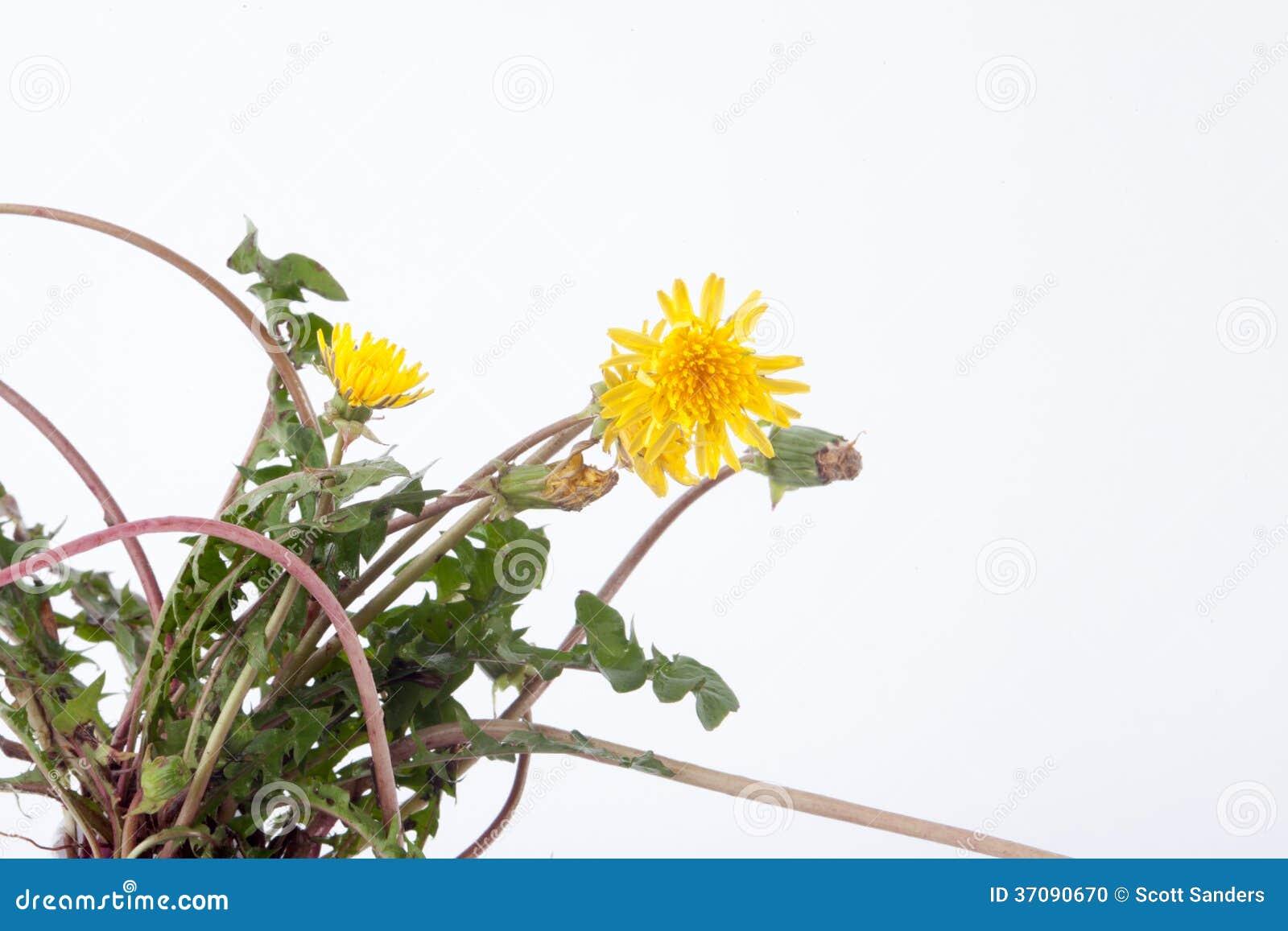 Download Dandelions zdjęcie stock. Obraz złożonej z odosobniony - 37090670