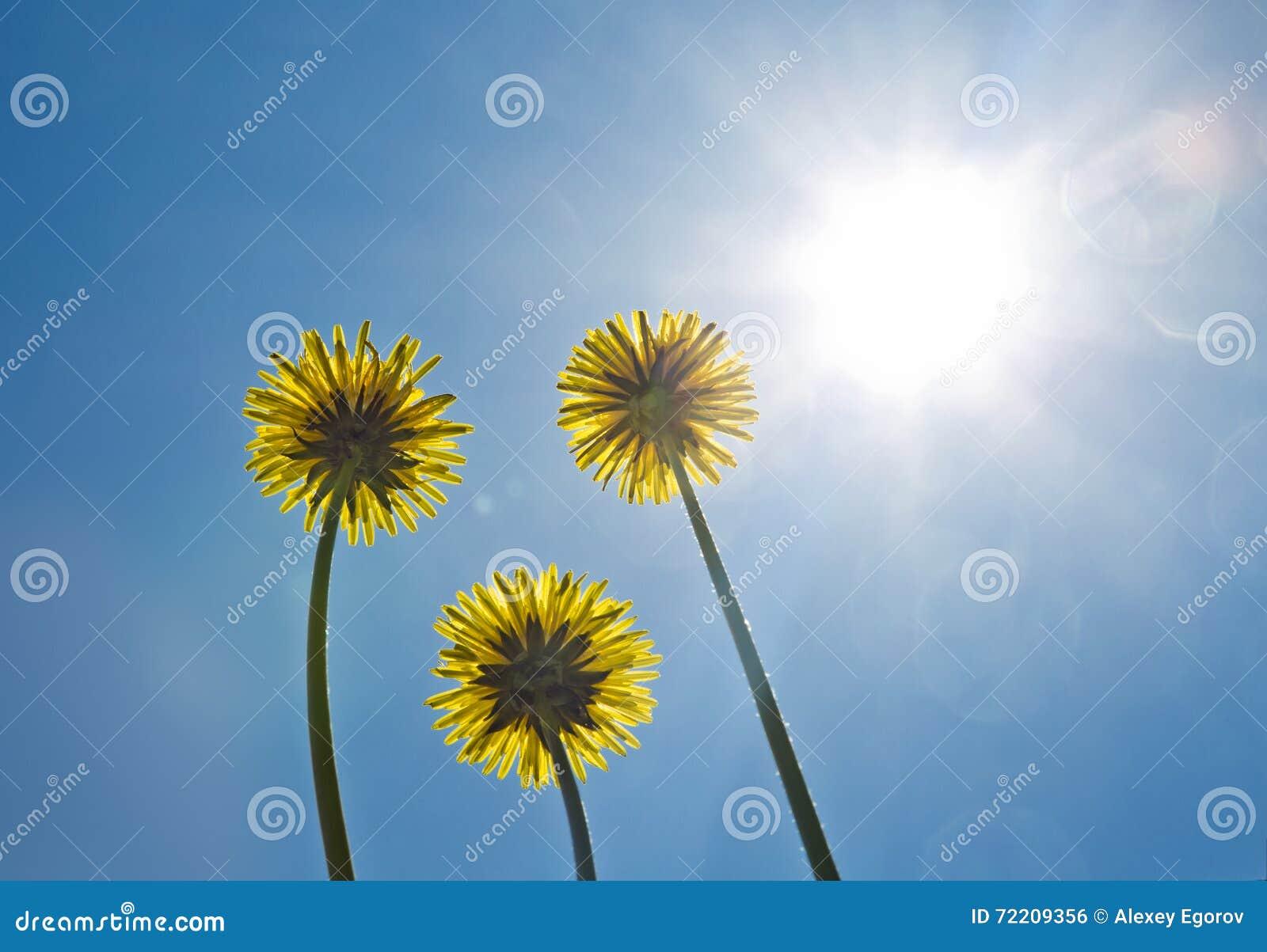 Dandelions błękitny niebo jasne słońce sunshine