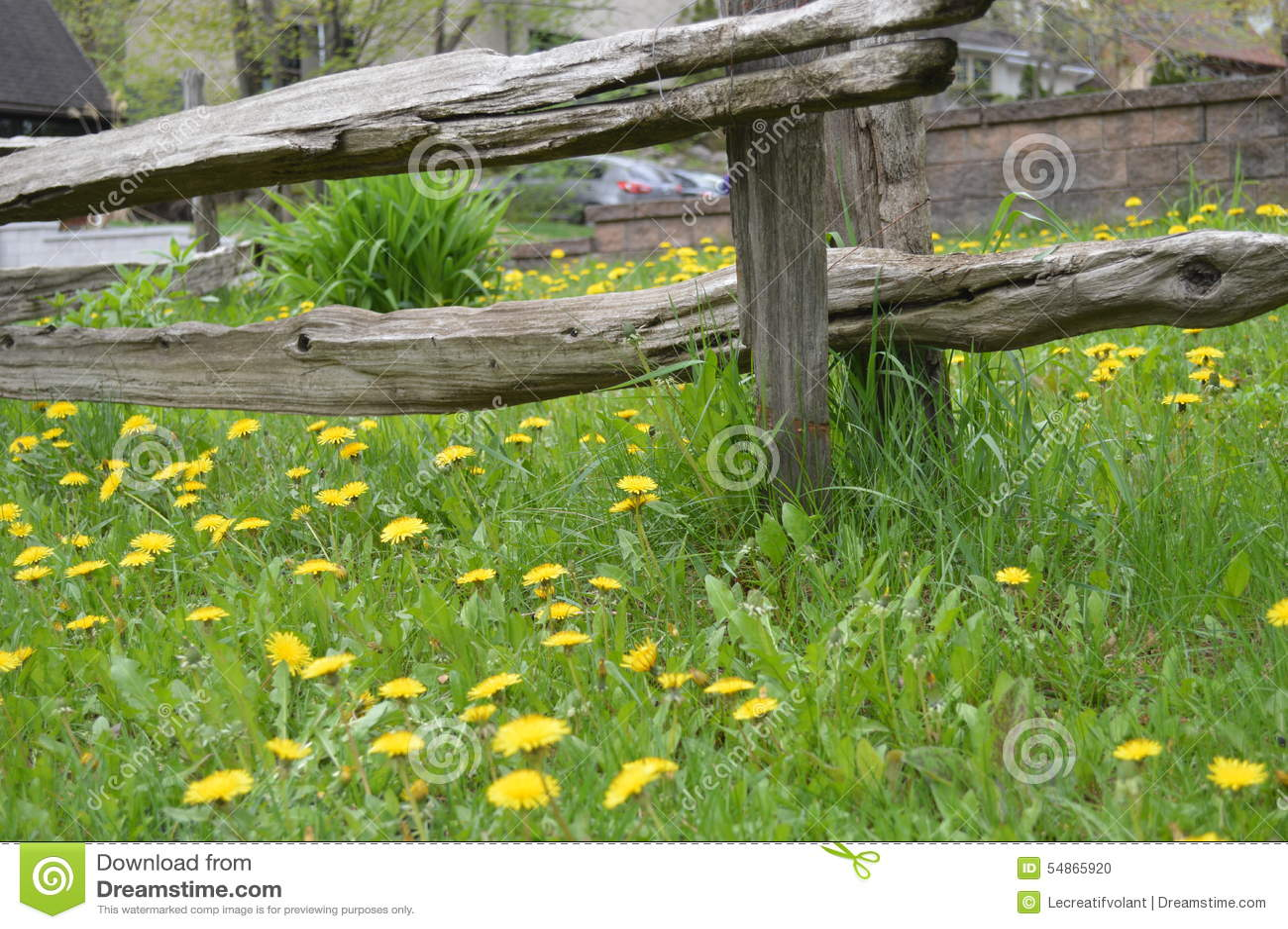 Dandelions In A Garden In The Lawn. Field Of Dandelions. Return Of Spring.  Weeds In The Garden. Wooden Barriers. Ranch Fence.
