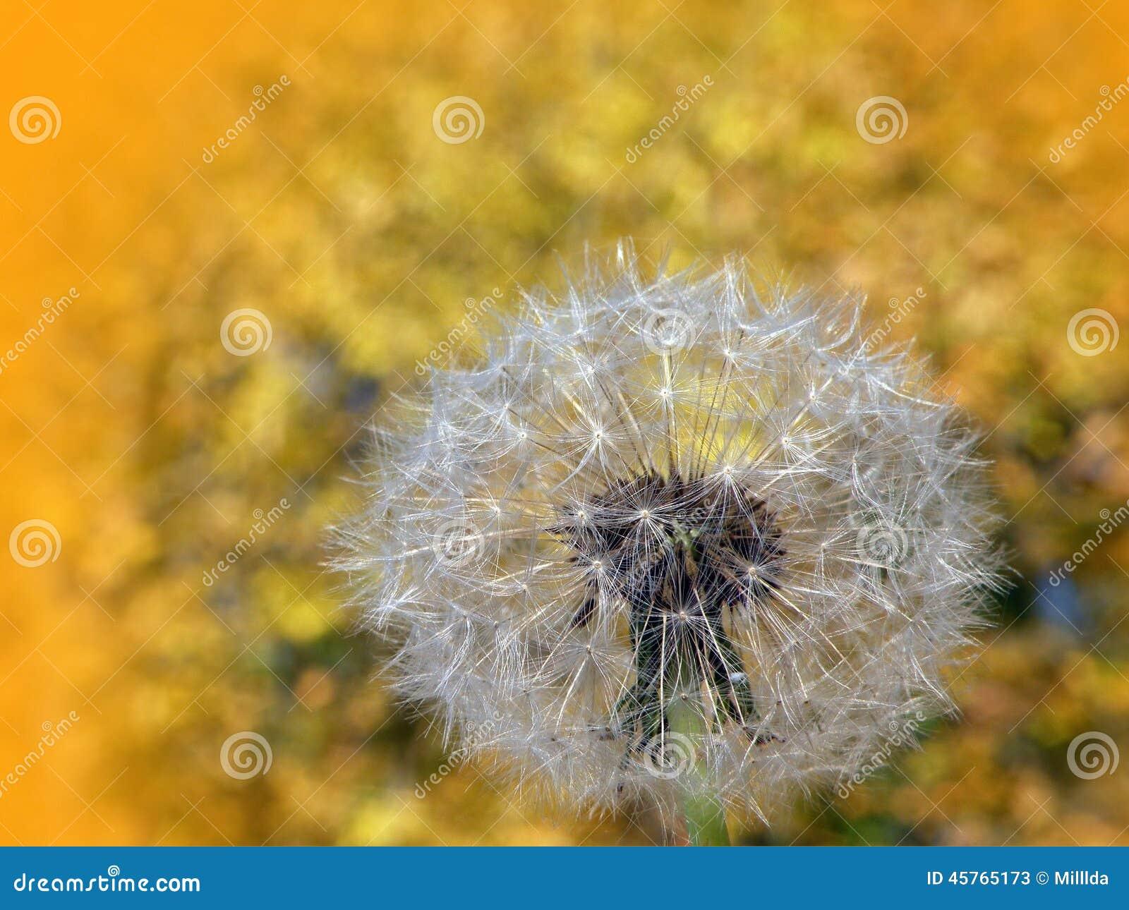 Dandelions fluff