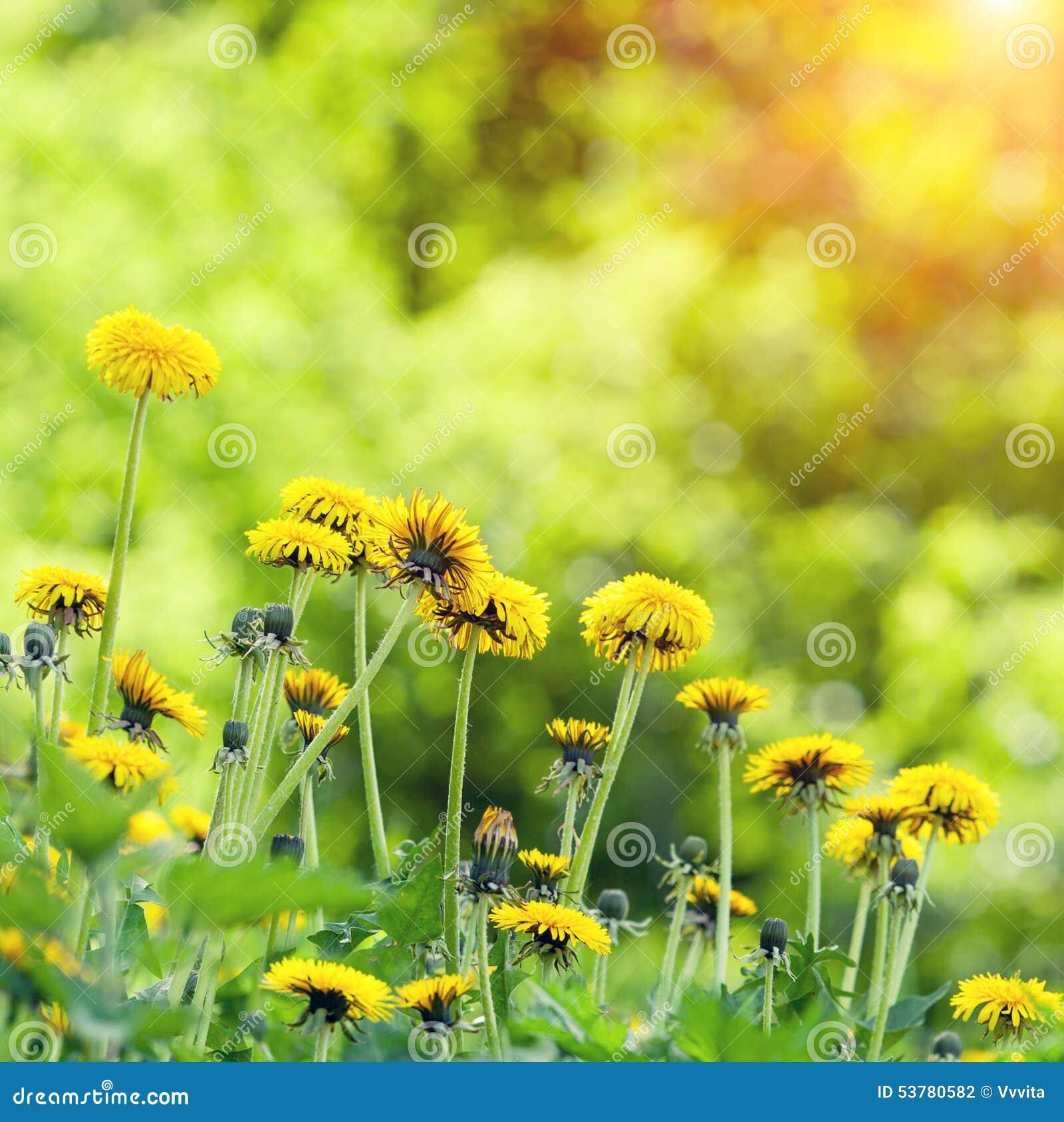 Dandelions gazon