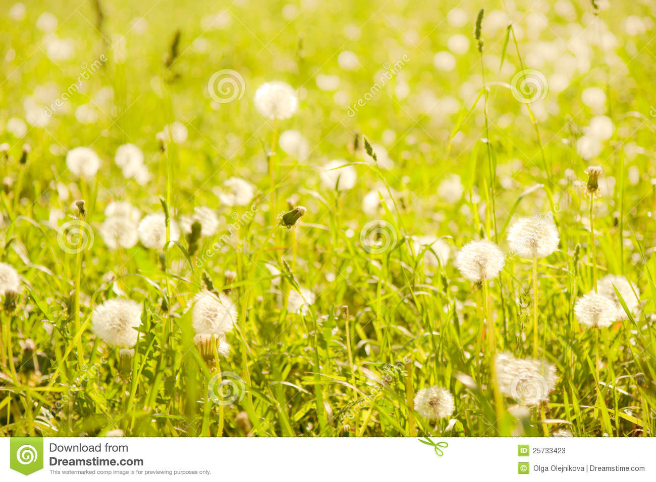 Dandelions in summer grass