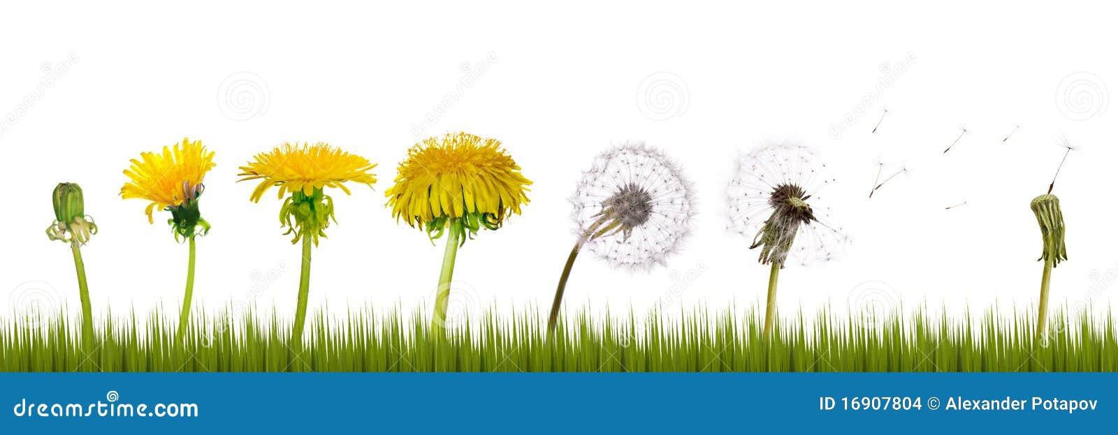 Dandelions trawy życie