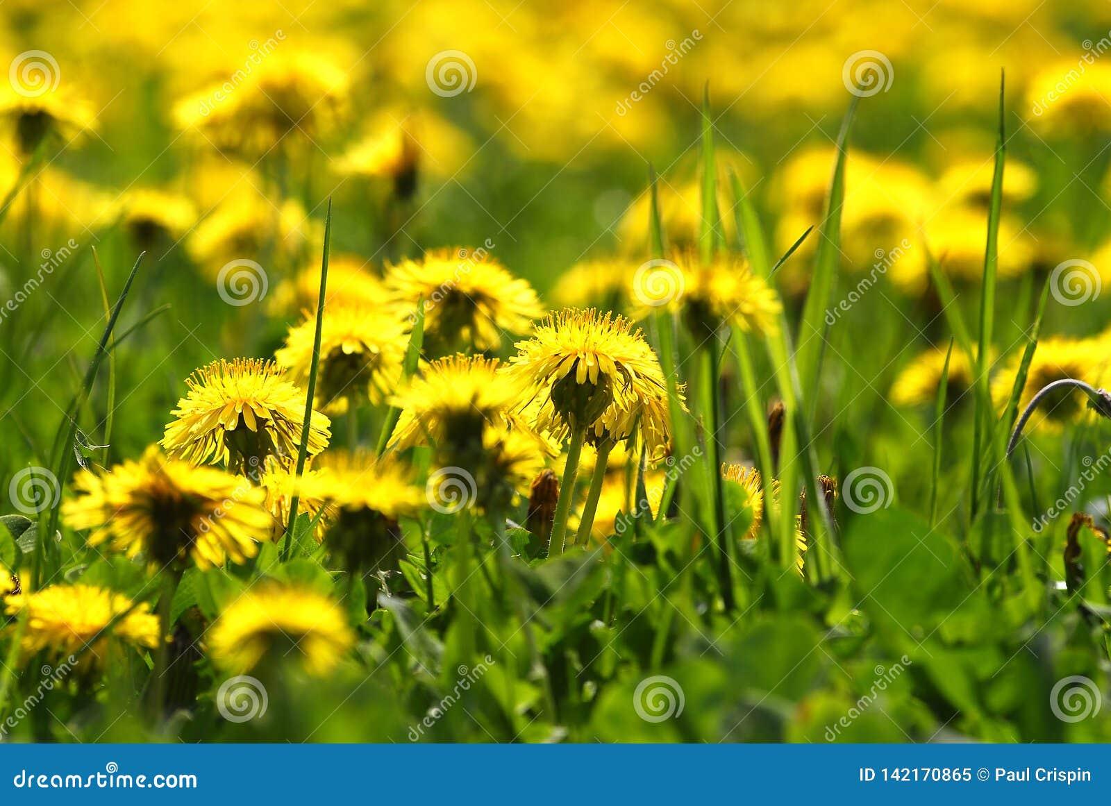 Dandelions w trawy łące
