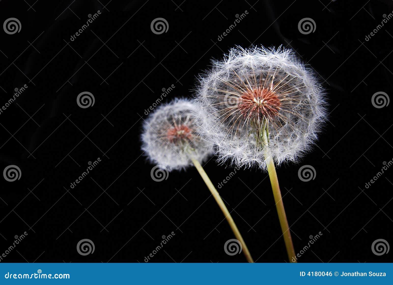 Dandy Lion Flowers