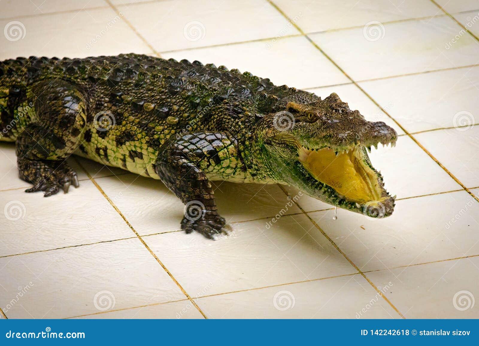 Dangarous groene krokodil in terrarium op het krokodillandbouwbedrijf