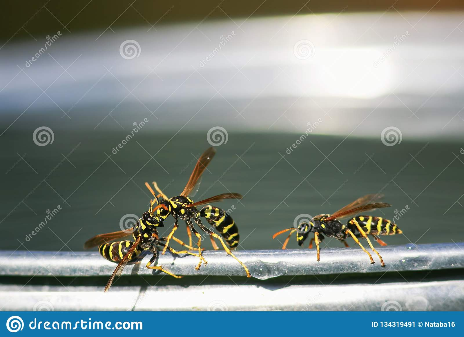 insect wasp flew for water on a metal bucket in the garden and with fighting