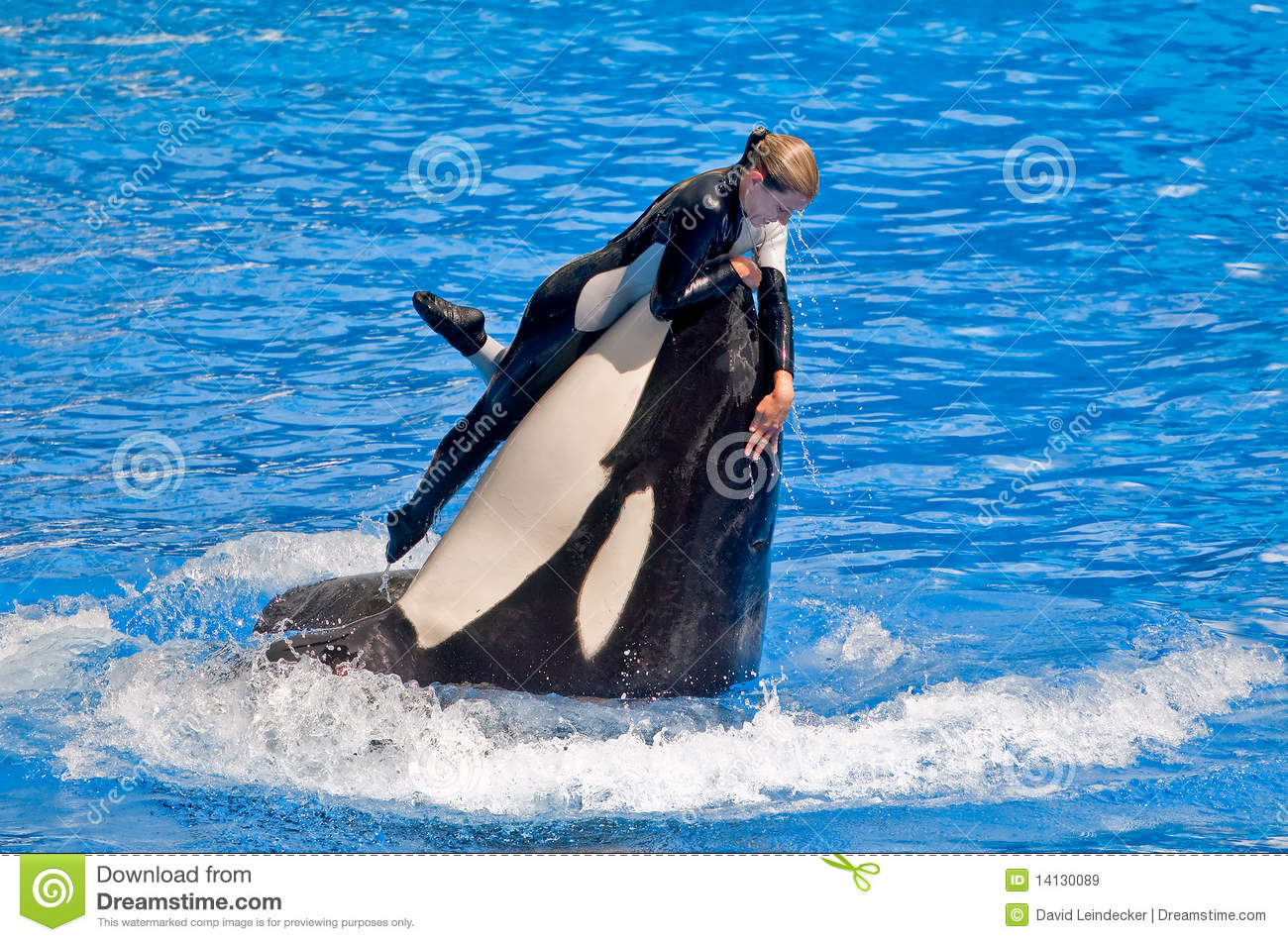 dangerous killer whale and trainer editorial stock image image 14130089 killer whale clipart free killer whale clipart free