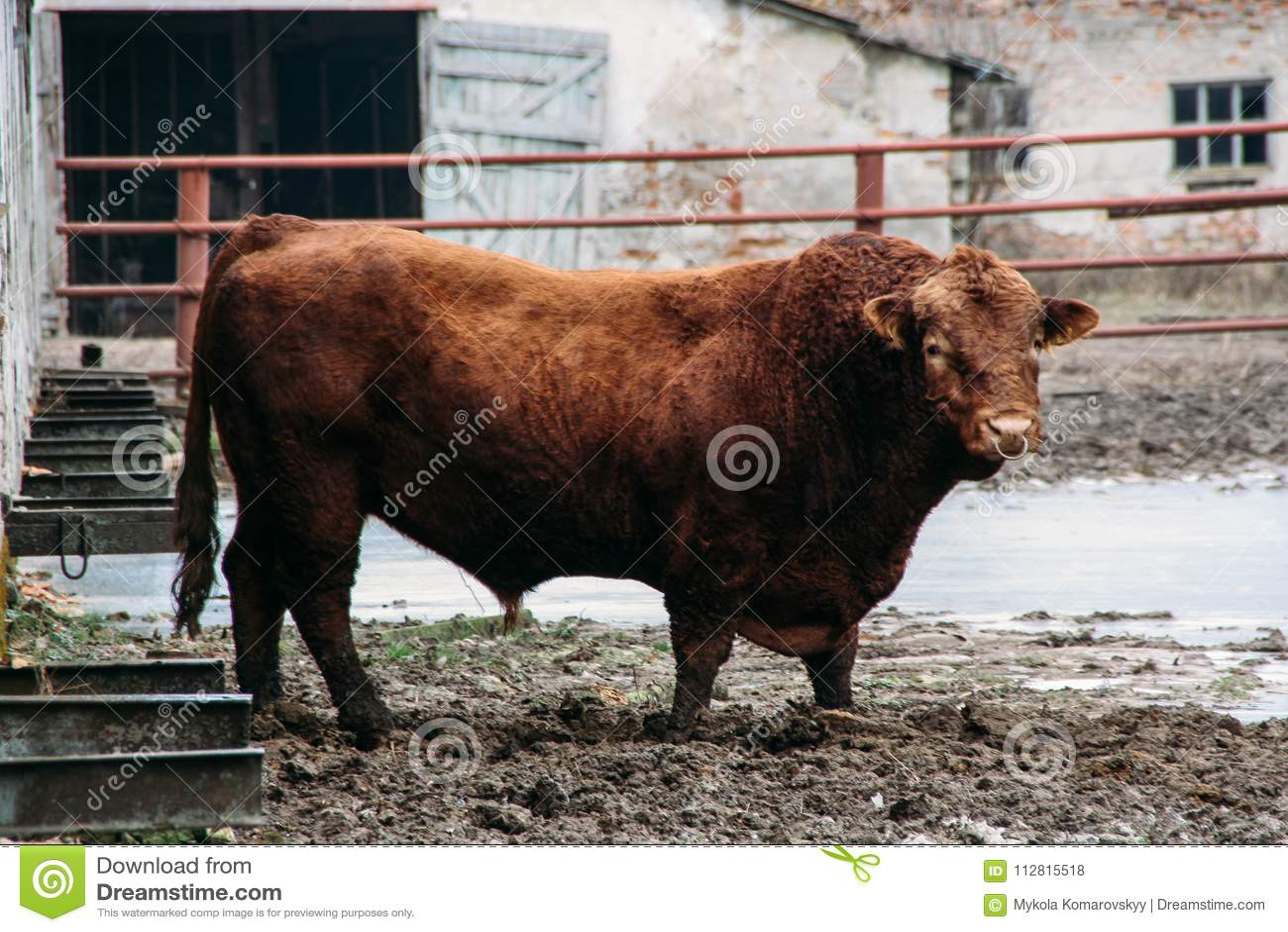 Dangerous Looking Bull Stock Photo Image Of Domestic 112815518