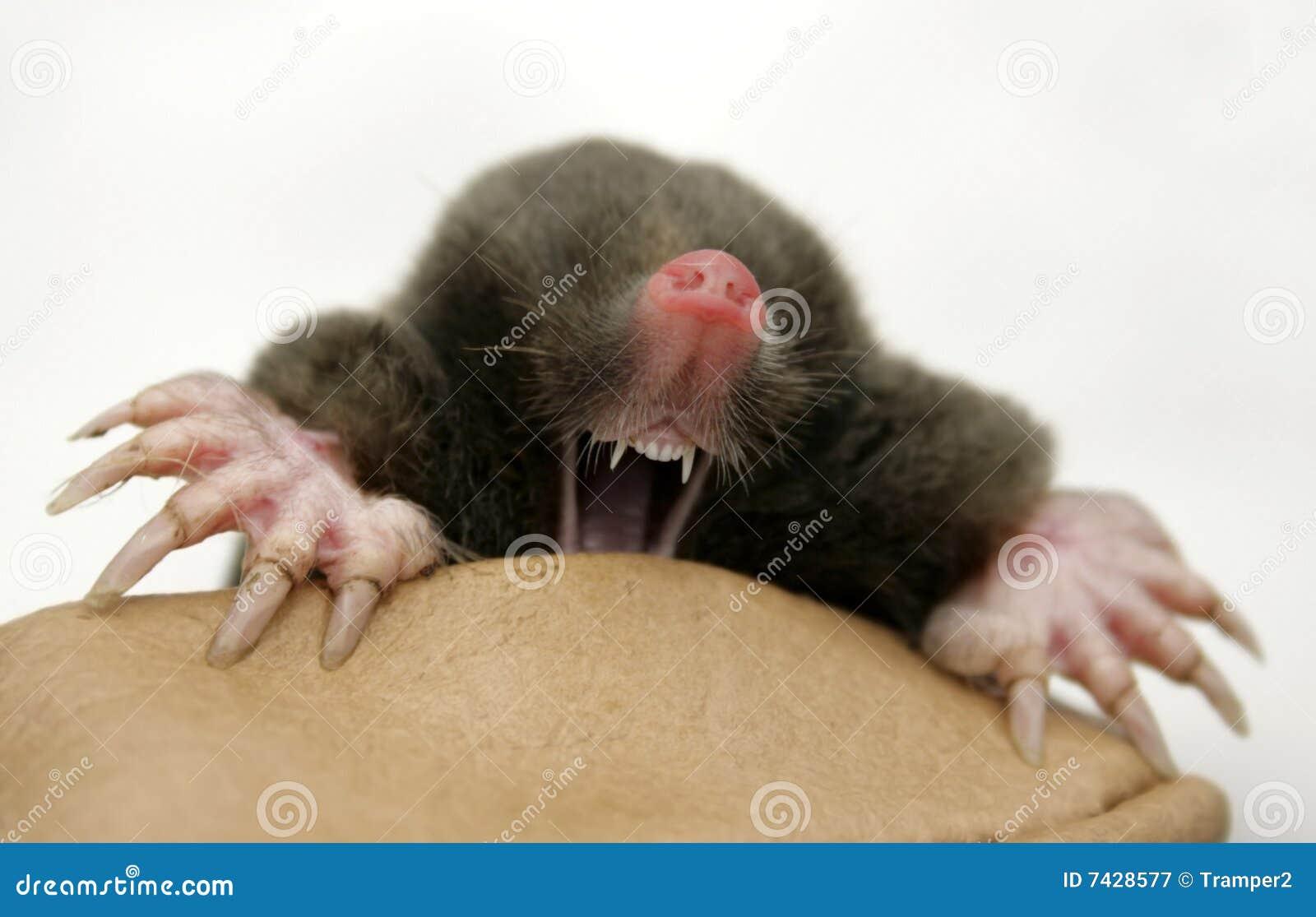 Dangerous mole royalty free stock photography image 7428577