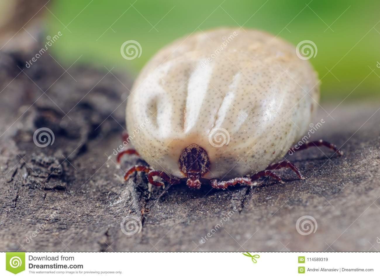 A dangerous parasite and a carrier of infection, a tick full of blood sitting on the bark of a tree