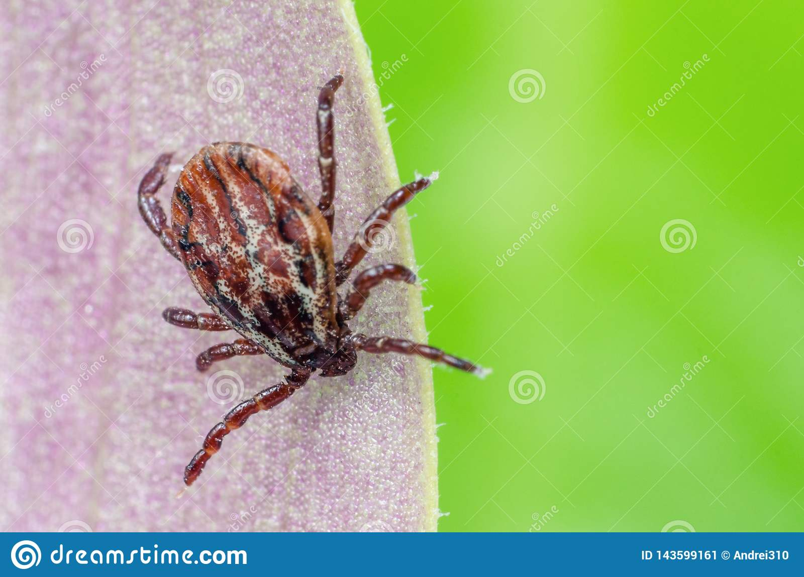 A dangerous parasite and infection carrier mite sitting on a leaf