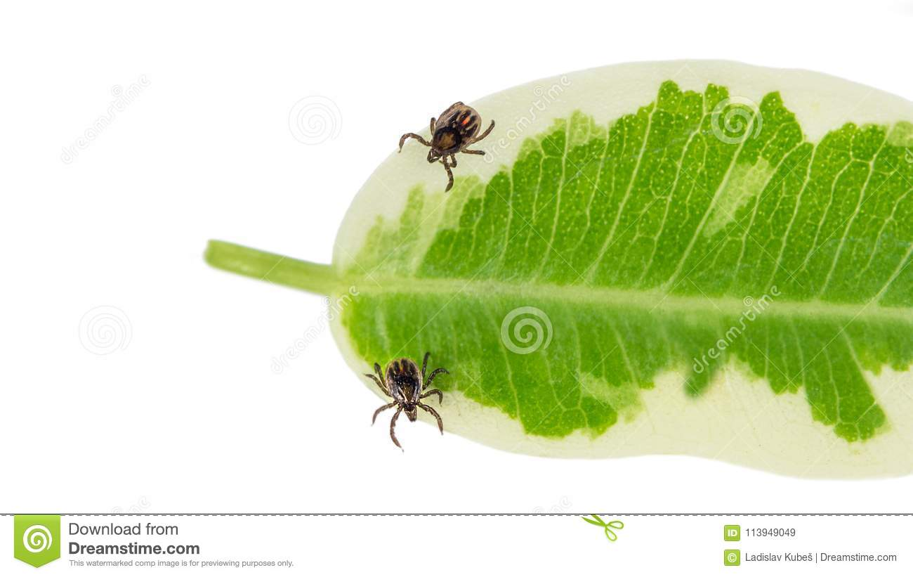 Two castor bean ticks on a green leaf. Ixodes ricinus