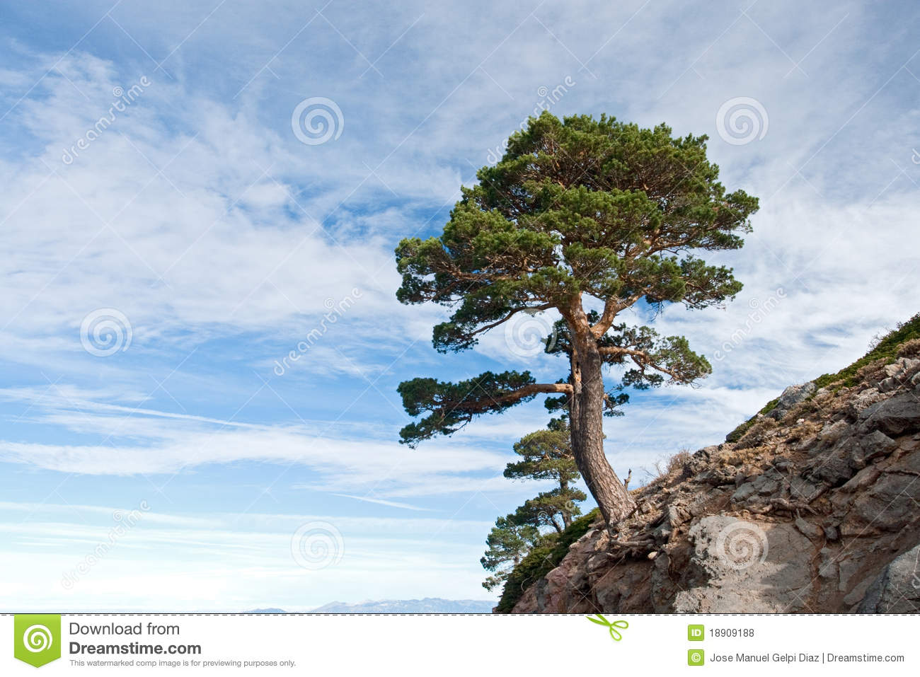 Dangerous Tree Located On A Cliff Royalty Free Stock