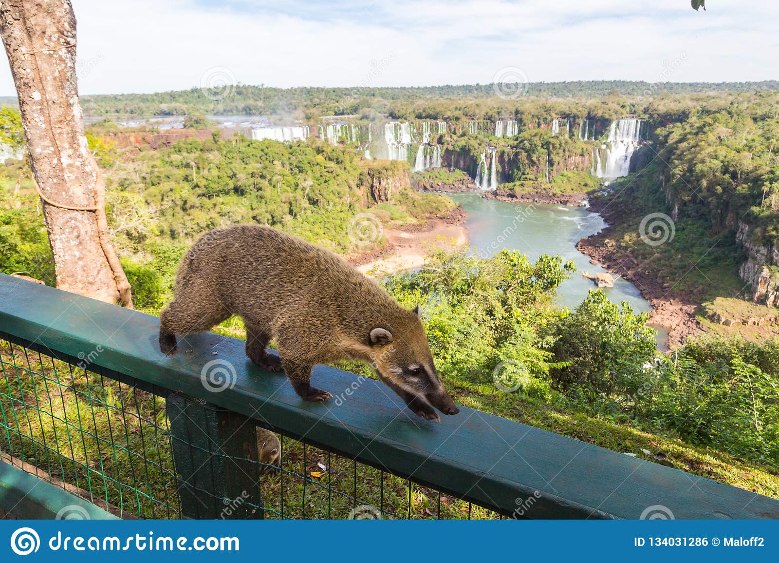 Wild coati nasua posing on Brazilian side of Iguazu falls national park. Argentinian side of Iguazu falls in the background.