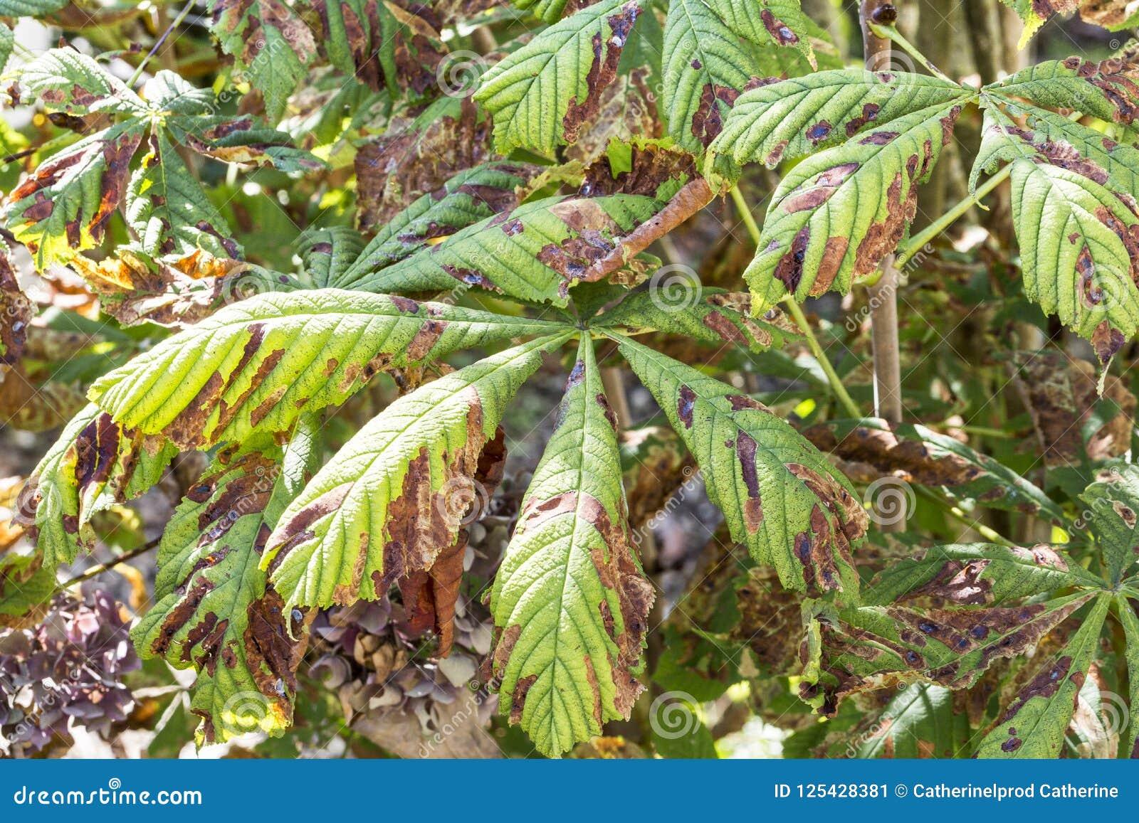 Danifique às folhas do ohridella de Cameraria da traça do mineiro da castanha