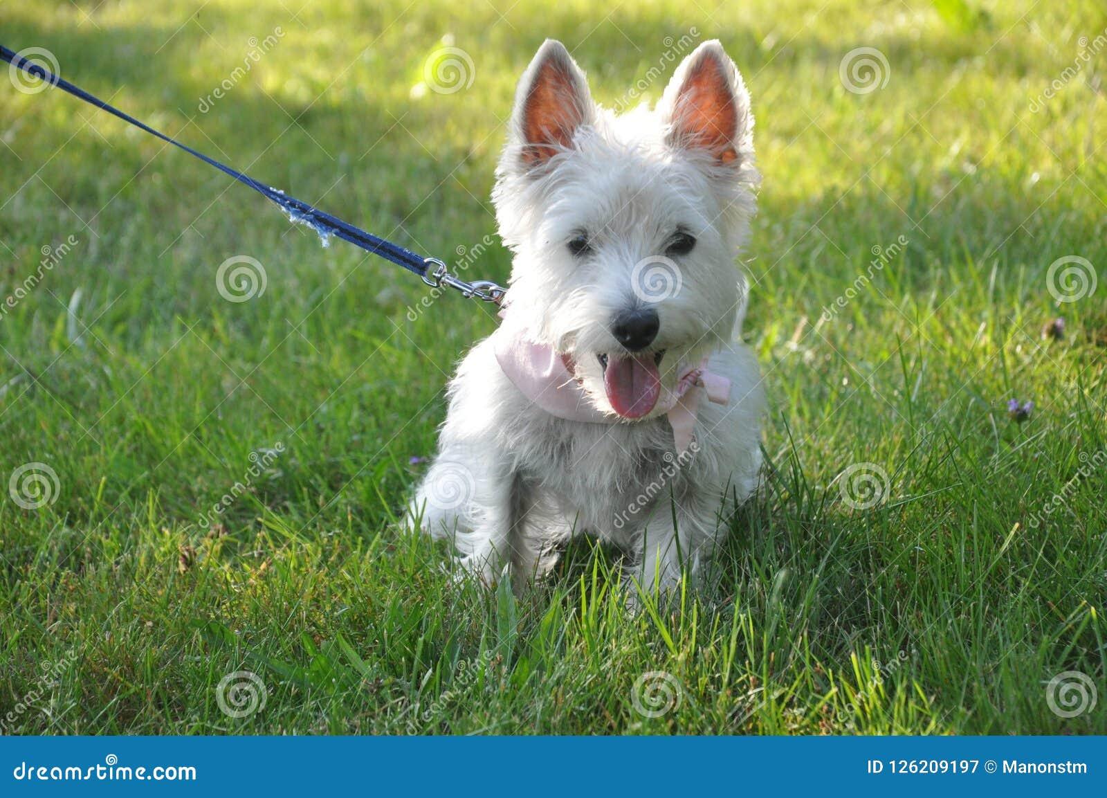 Dans l собака blanc Chien herbe ` белая на траве