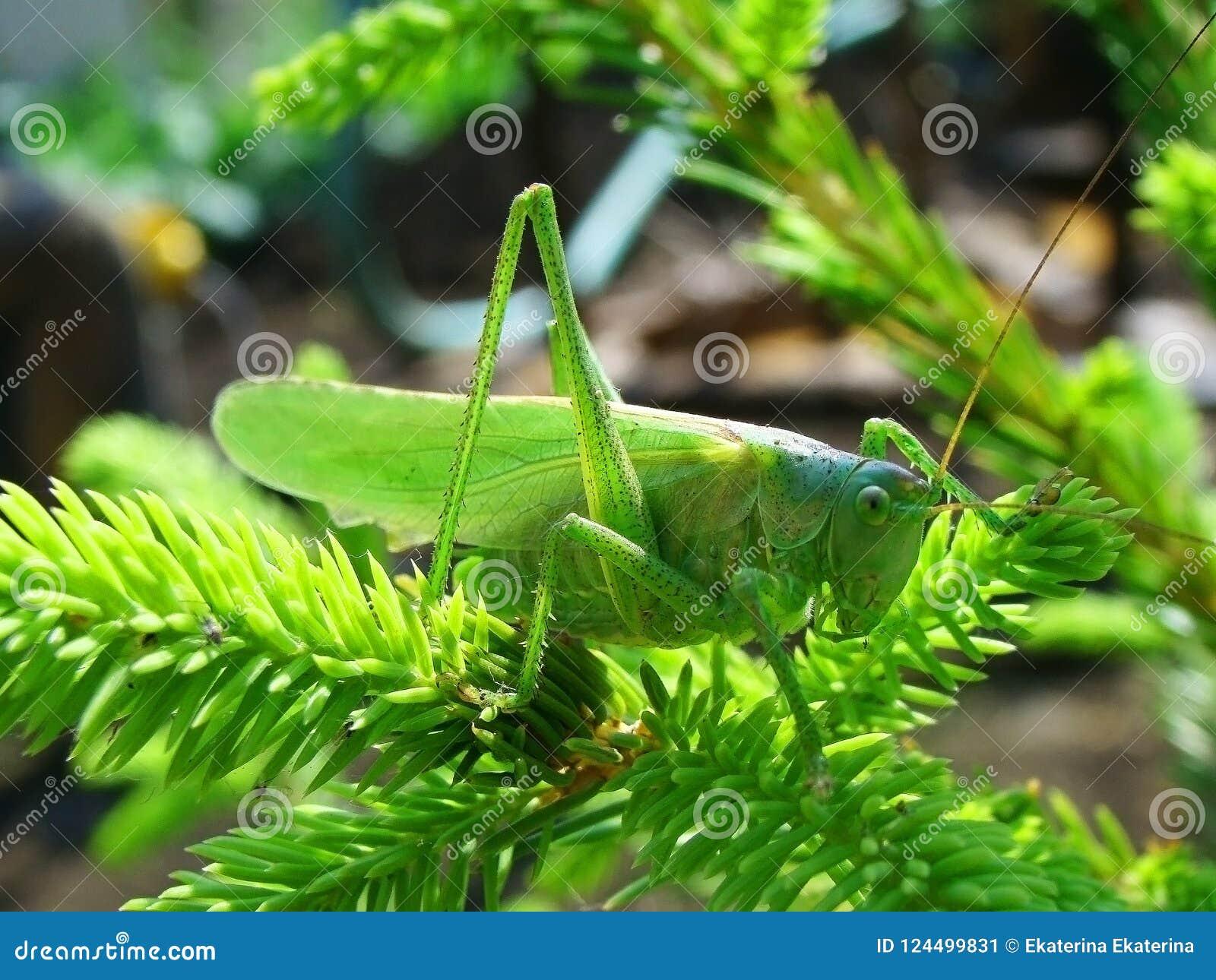 Dans la sauterelle d herbe reposée