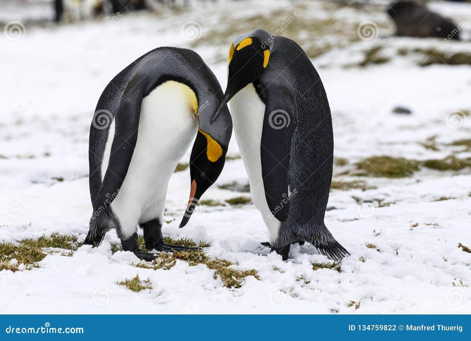 Dans La Tendresse Déchanges De Couples Du Roi Penguin D