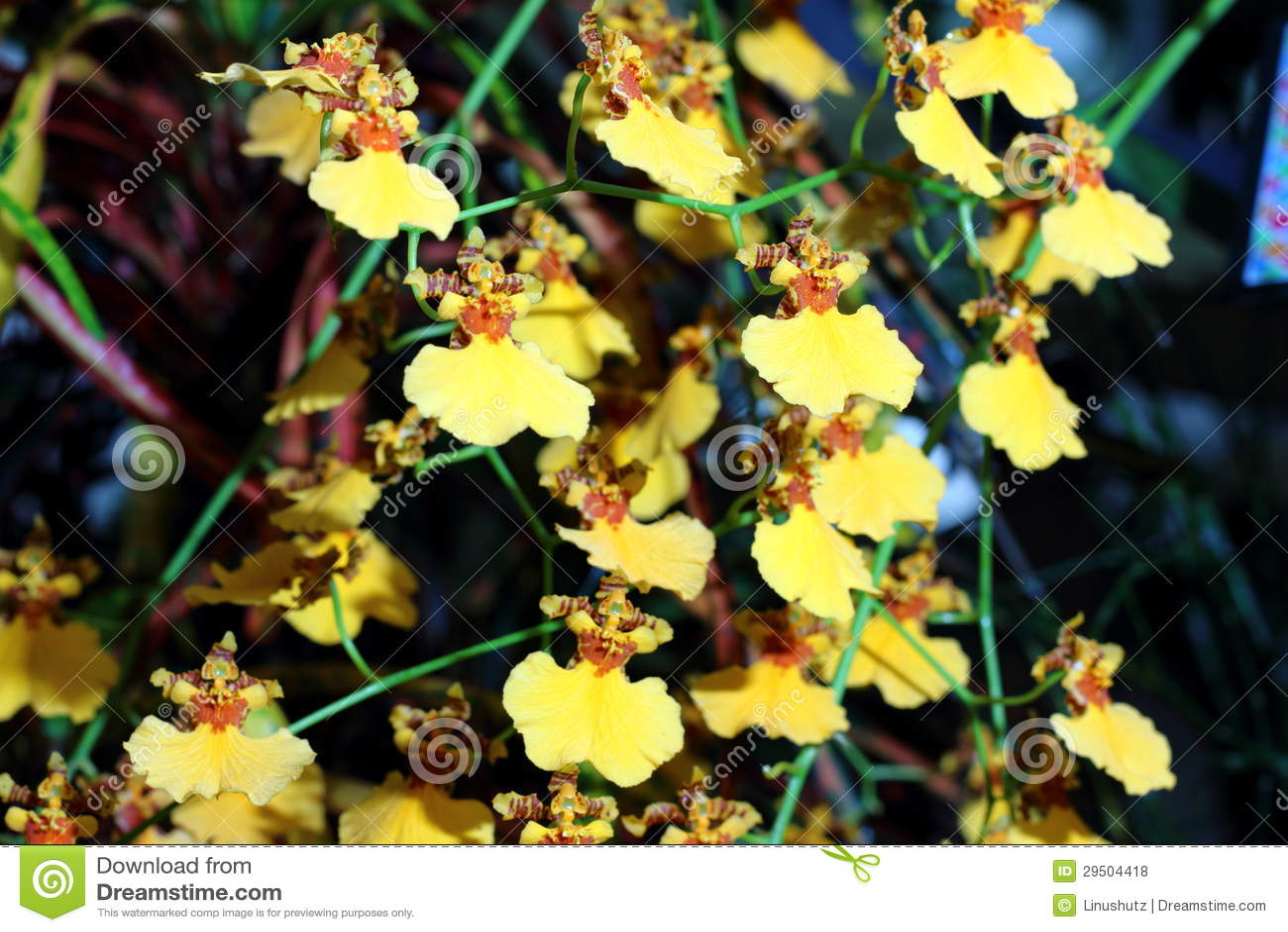 Dansende dame Orchidee