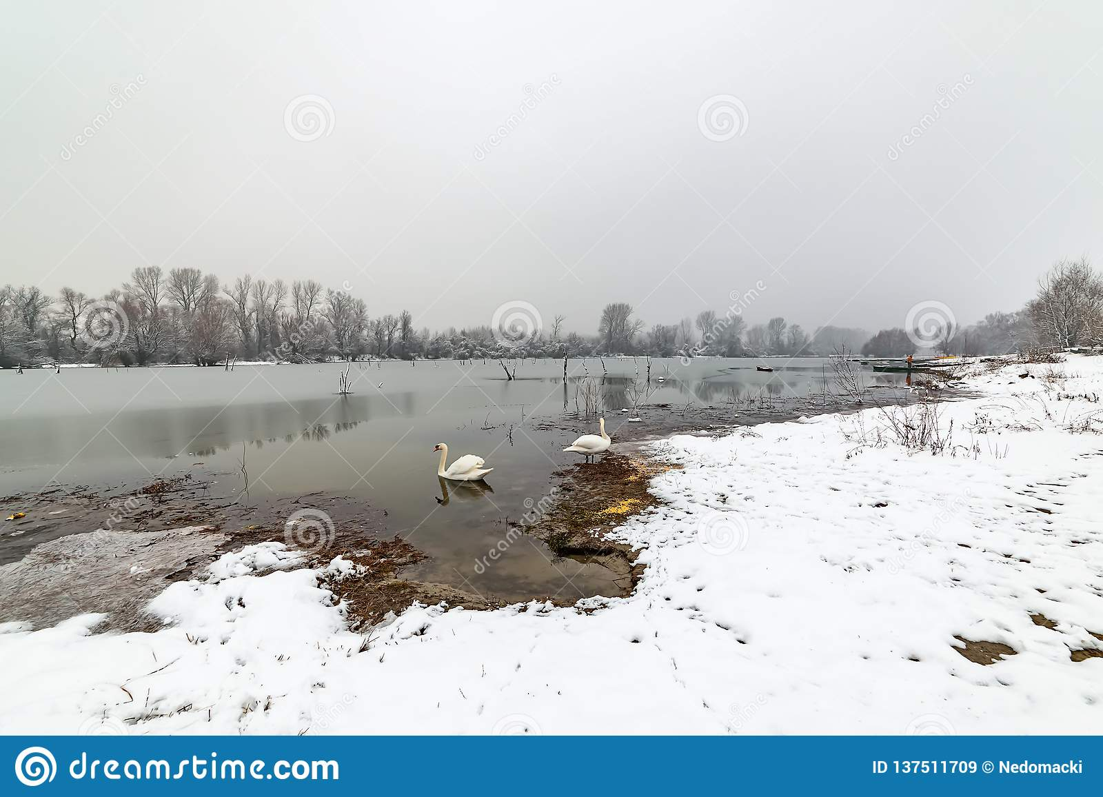 Danube island Šodroš near Novi Sad, Serbia. Colorful landscape with swans and beautiful frozen river.