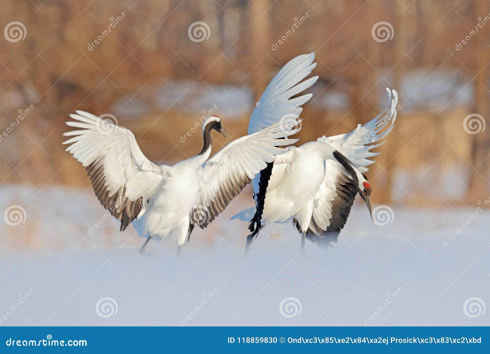 Danza de la nieve en naturaleza Escena de la fauna de la naturaleza nevosa Invierno frío Los pares de dos Rojo-coronaron la grúa