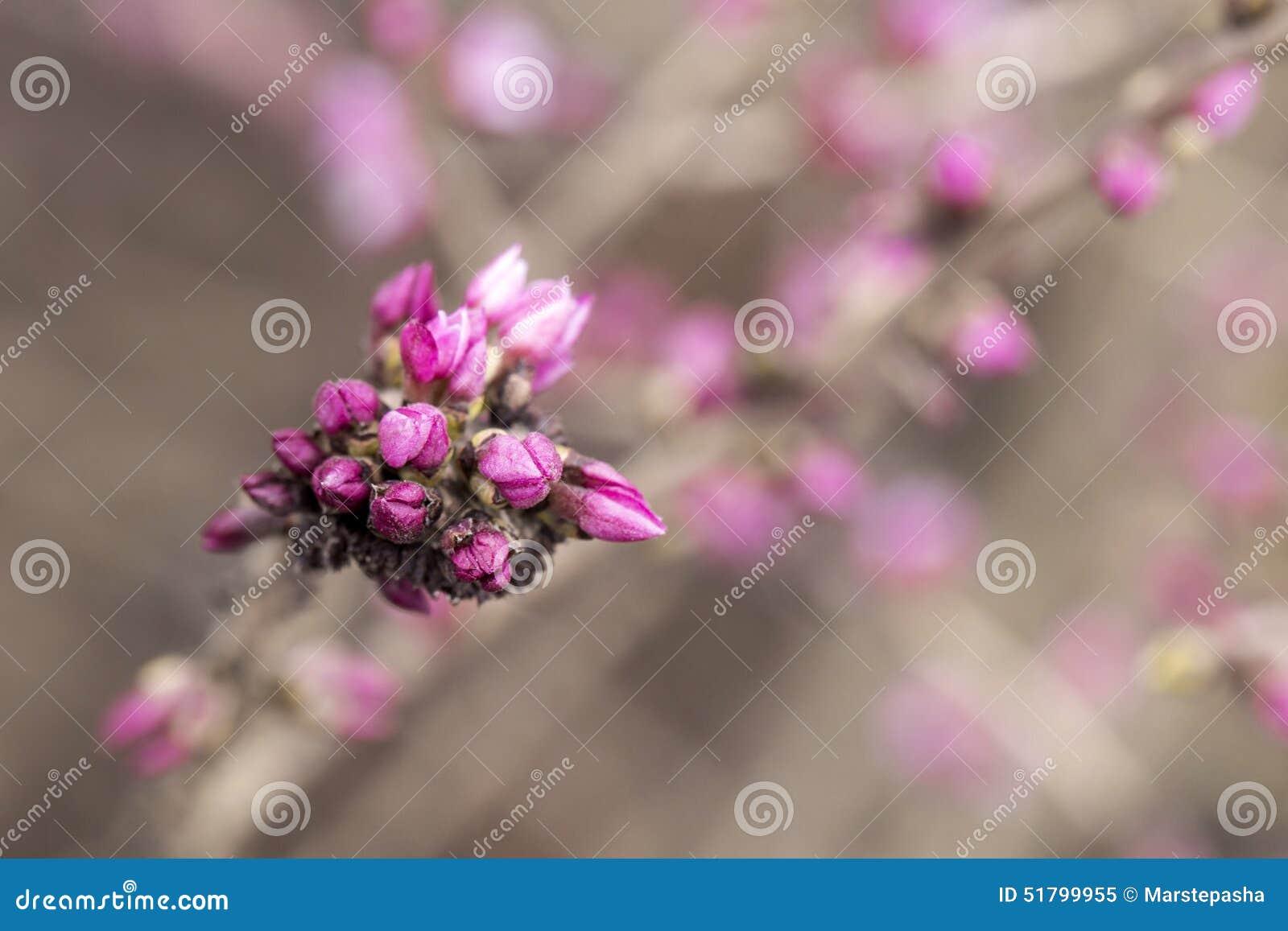 Daphne Buds Close Up Stock Image Image Of Spring Mezreum 51799955