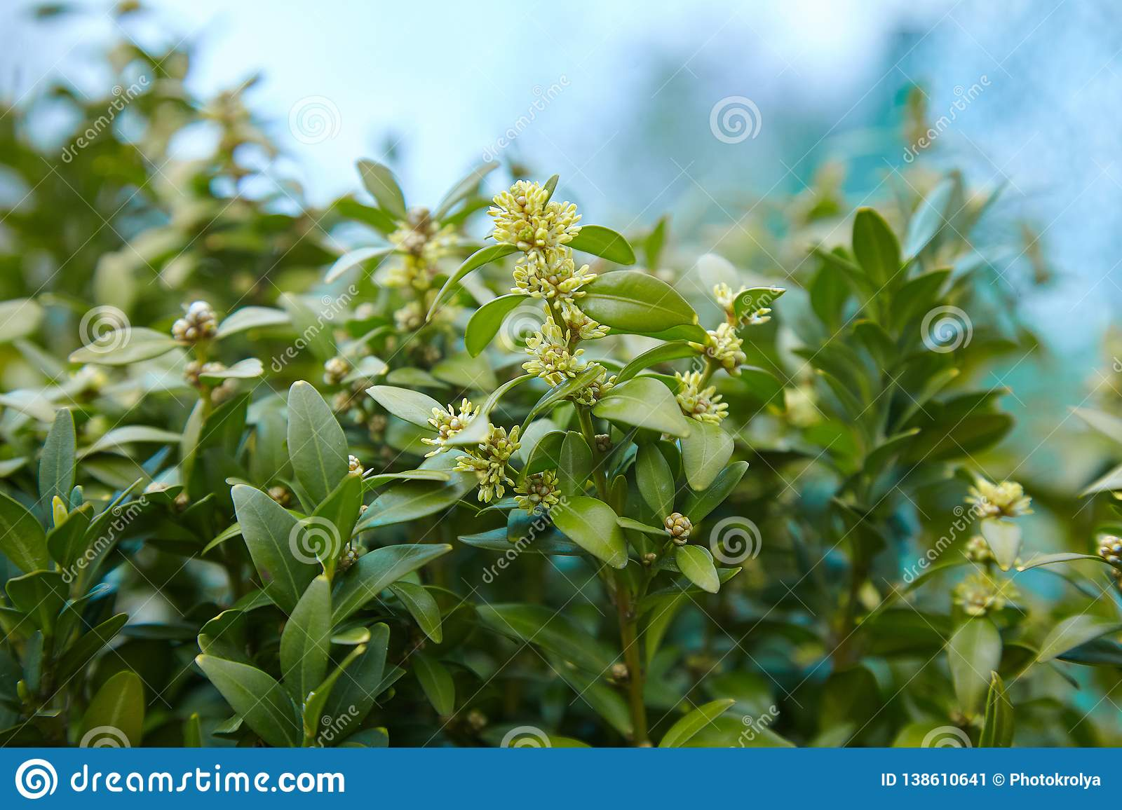 Daphne laureola shrub , commonly called spurge-laurel