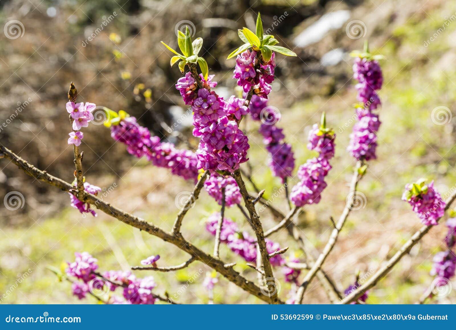 Daphne mezereum, February daphne, mezereon, mezereum, spurge laurel, spurge olive