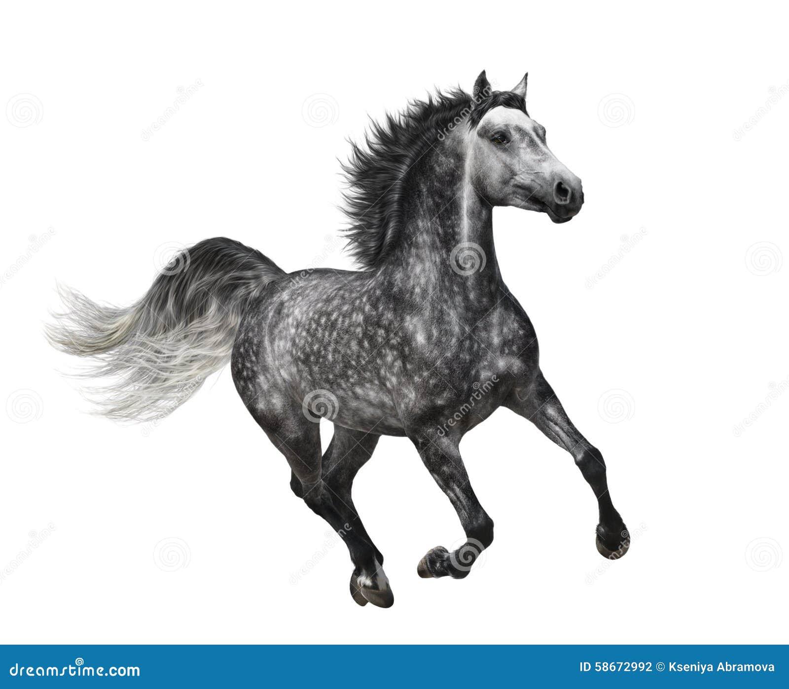 Dapple-серая лошадь в движении - изолированном на белизне