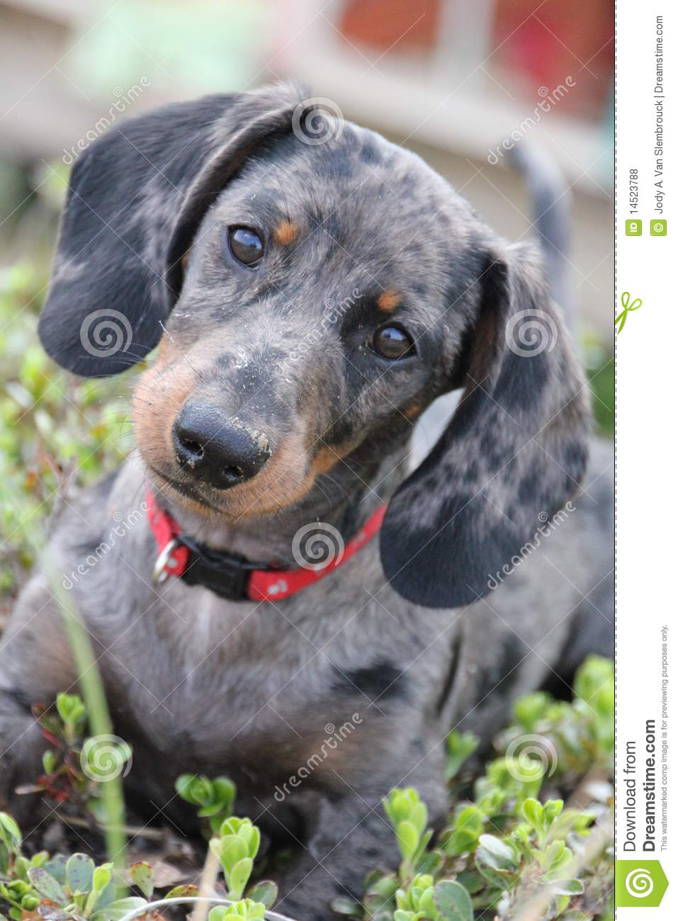 Dapple Dachshund Stock Photo Image Of Outdoors Curious 14523788