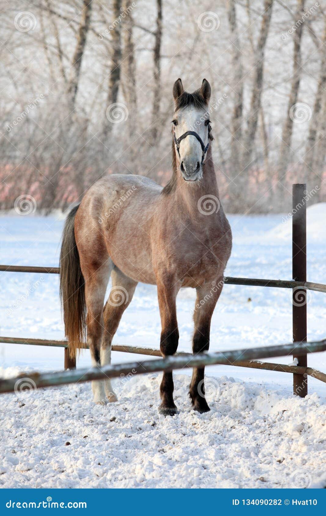 842 Dapple Grey Horse Photos Free Royalty Free Stock Photos From Dreamstime