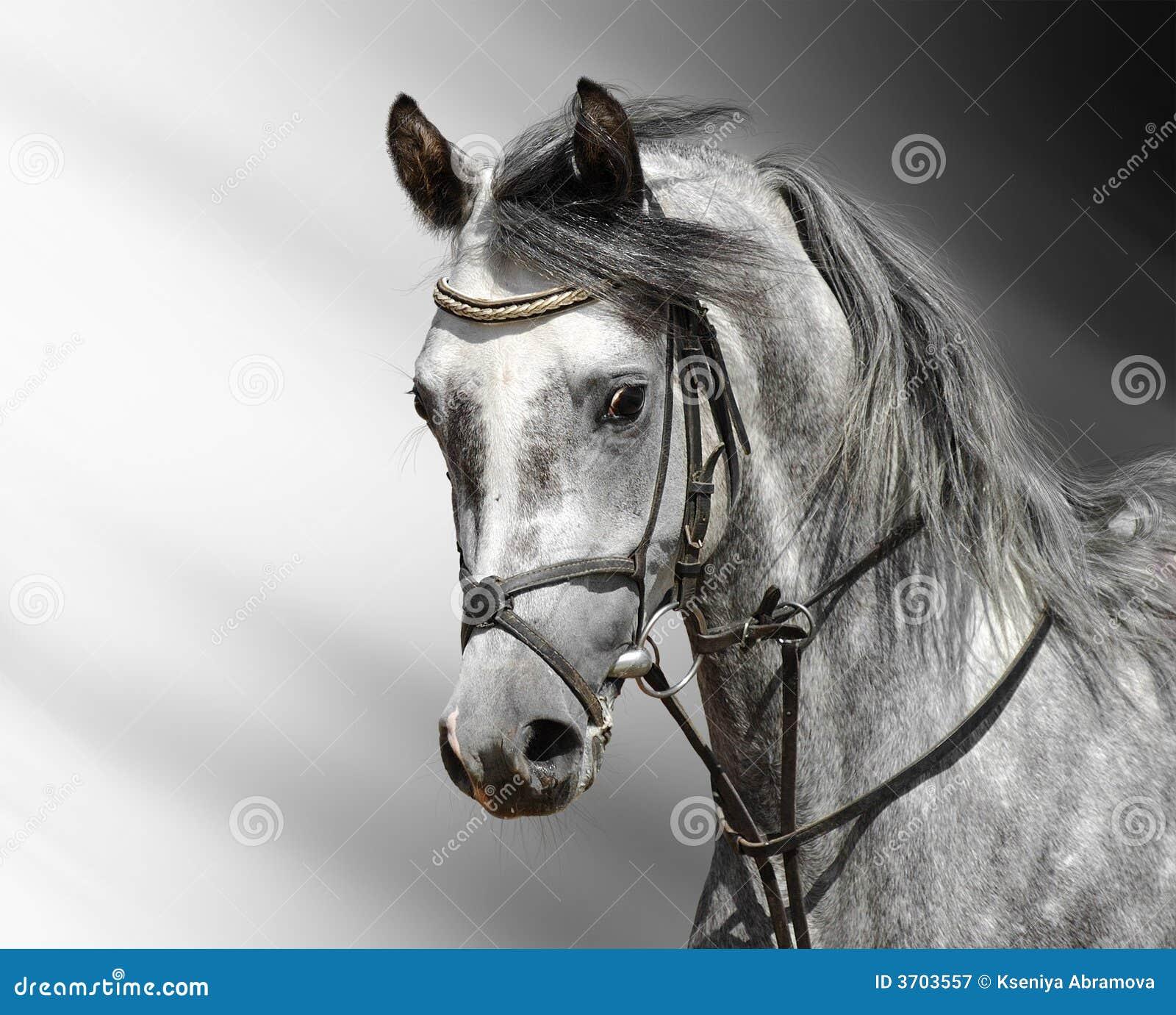Dapple Grey Horse Arabian Stock Image Image Of Portrait Bridoon 3703557