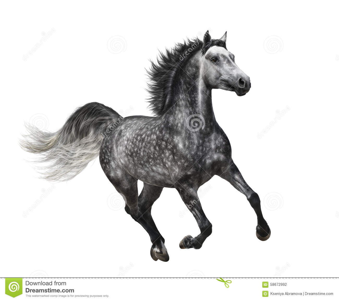 842 Dapple Grey Horse Photos Free Royalty Free Stock Photos From Dreamstime