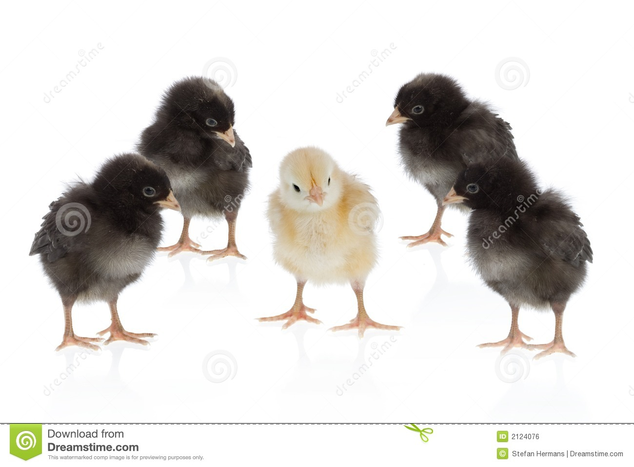 Dare to be different, easter scene : yellow chicken amongst four black ...