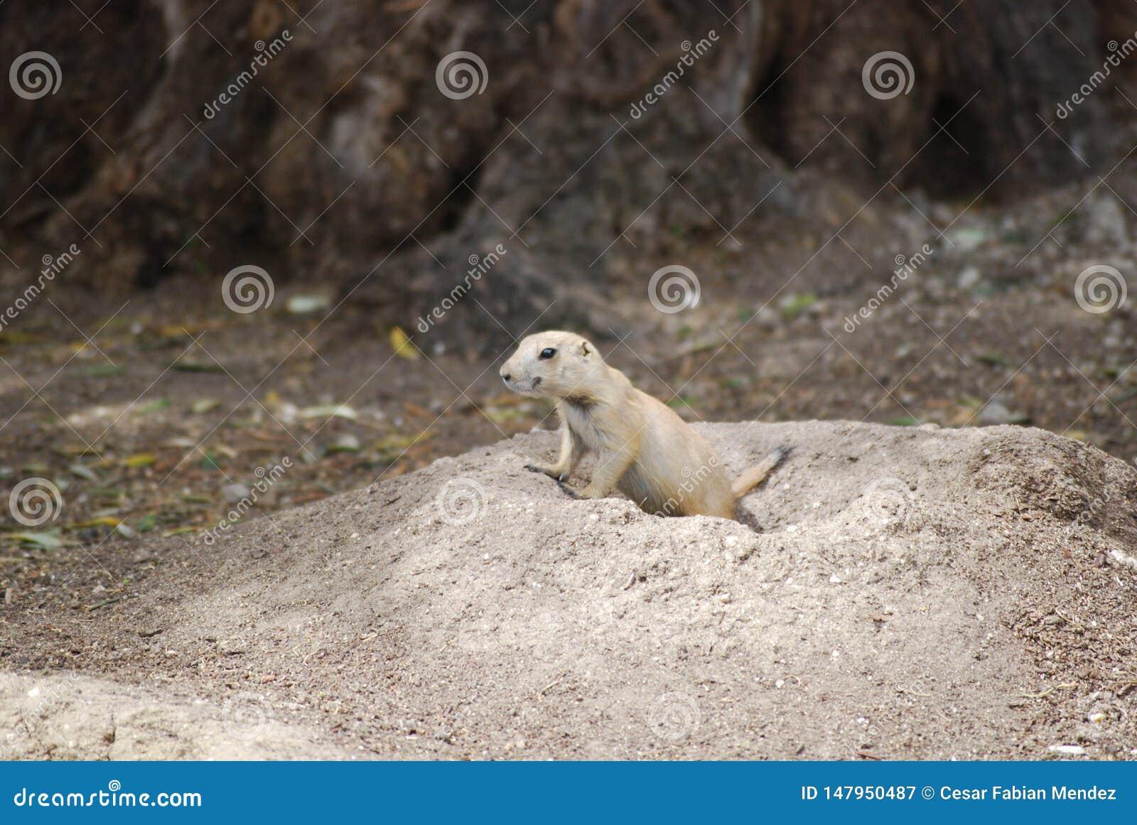 Dare una occhiata della marmotta