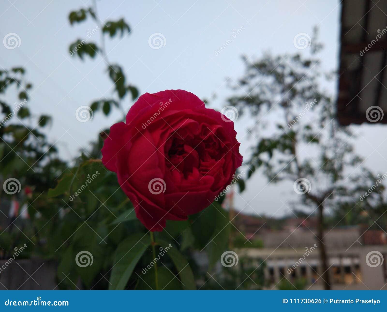 Dari Rose flower