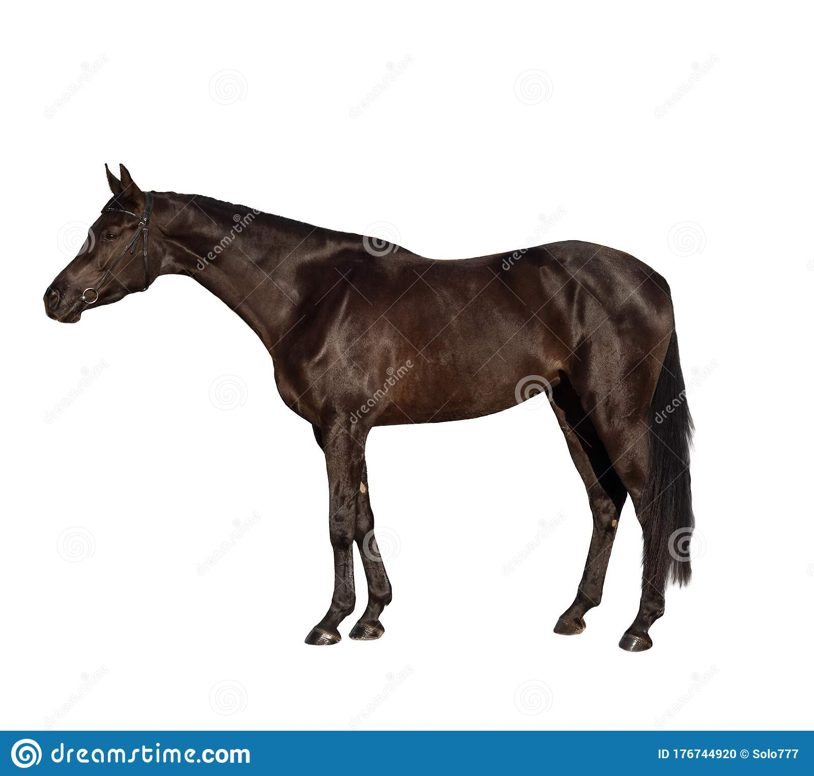 319 Dark Bay Horse Isolated White Background Photos Free Royalty Free Stock Photos From Dreamstime
