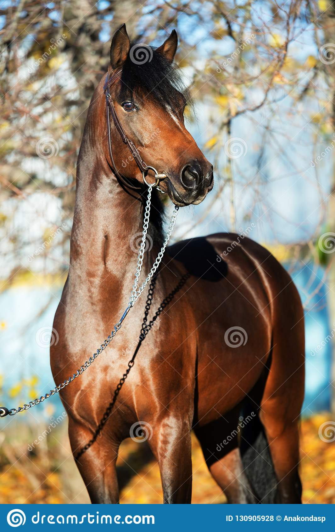 Dark bay sportive welsh pony stallion posing near autumn trees