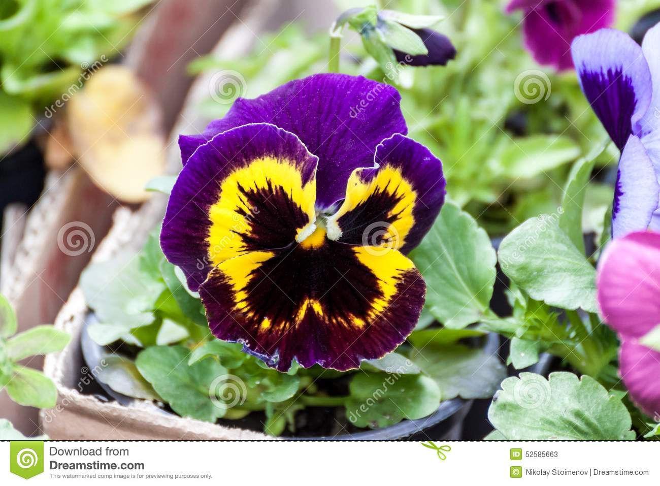 Fiori Viola E Gialli.Dark Blue Black And Yellow Viola Flower Stock Image Image Of
