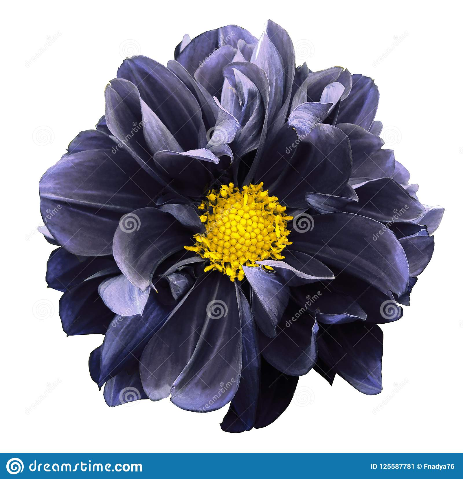 Dark Blue Dahlia Flower On A White Isolated Background With